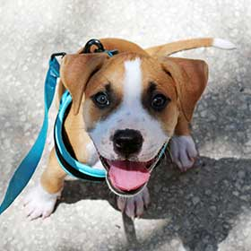 Leash Training For Your Puppy